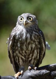 Hawk Owl, Healesville Sanctuary